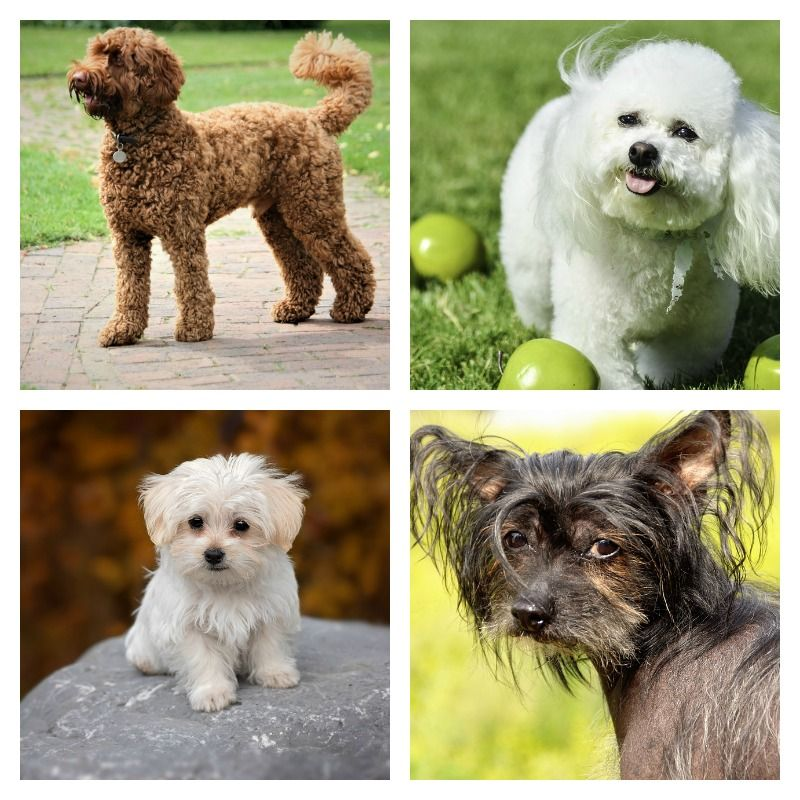 Breeds of Hypoallergenic Dogs